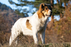 Bulgarian sheeper dog in fall meadows Royalty Free Stock Images