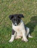 The Bulgarian Shepherd Karakachan puppy is in the park. Karakachan puppy portrait. The Bulgarian Shepherd dog Stock Image