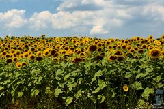 Bulgarian Sunflower field on a sunny day royalty free stock images