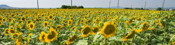 Bulgarian sunflowers Stock Images