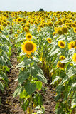 Bulgarian sunflowers in Burgas Stock Photos