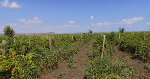 Bulgarian vineyard before harvesting. Bulgaria - occupies a leading position among the Balkan countries on the cultivation of grapes and sunflowers, the royalty free stock photo