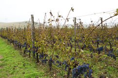 Bulgarian vineyard during the harvesting in a cloudy rainy day. Selective focus. Bulgarian vineyard during the harvesting in a cloudy rainy day Stock Images