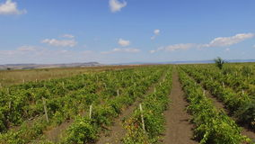 Bulgarian vineyard in Pomorie. Bulgaria - occupies a leading position among the Balkan countries on the cultivation of grapes and sunflowers, the production of stock footage