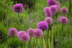 Bulgaricum ornamental del allium de la cebolla del color púrpura en un jardín botánico Foto de archivo