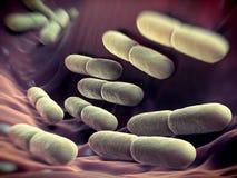 Bulgaricus bakterier för Lactobacillus Arkivbilder