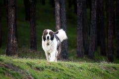 Bulgarischer Schafgott nahe Wald lizenzfreies stockfoto