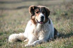 Bulgarischer weißer Hund stockbild