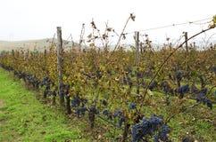 Bulgarischer Weinberg während des Erntens an einem bewölkten regnerischen Tag Selektiver Fokus Stockbilder