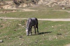 Bulgarisk häst Arkivbild