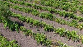 Bulgarisk vingård lager videofilmer