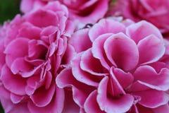 Bulgariska rosor i sommaren i staden av Burgas - trädgården som litet är utsmyckad i den härliga morgonen Royaltyfri Bild