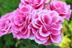 Bulgariska rosor 2 i sommaren i staden av Burgas - trädgården som litet är utsmyckad i den härliga morgonen Arkivfoto
