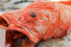 Bulging eye fish Stock Photos