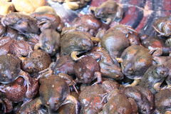 Bulk of bullfrog and were sold for food. They are local frog of Thailand and be favorite of people royalty free stock photography