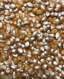 Bulk corn. Cereals, grain, corn . Can be used in the food industry catering, cookery, restaurant, farming etc.. for stylish presentation or Issues related to royalty free stock images