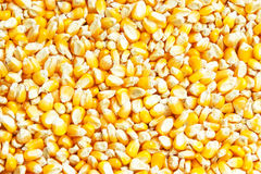 Bulk of corn grains as background Royalty Free Stock Image