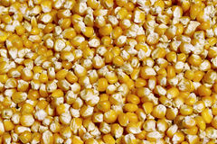 Bulk of eco corn grains Stock Photography