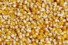Bulk of eco corn grains Stock Photography