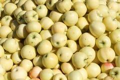 Bulk fresh harvested apples Stock Photo
