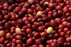 Bulk Harvested Cranberries Horizontal Stock Photo
