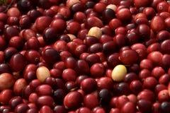Bulk Harvested Cranberries Horizontal Stock Photo