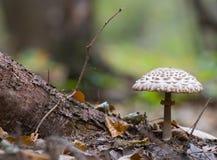 Bulky mushroom Royalty Free Stock Photo