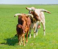 Bull, αγελάδα και μόσχος των βοοειδών Watusi στη στέπα Στοκ Εικόνες