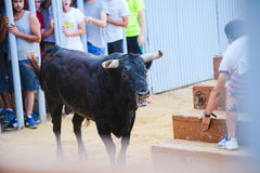 Bull από οι γενναίοι νεαροί άνδρες που πειράζει στο χώρο μετά από τους τρέχω-με-ο-ταύρους στις οδούς Denia, Ισπανία στοκ φωτογραφίες με δικαίωμα ελεύθερης χρήσης