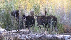 Bull και άλκες Shiras αγελάδων στην αποτελμάτωση απόθεμα βίντεο