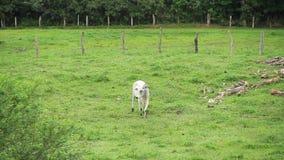 Bull που περπατά στον τομέα απόθεμα βίντεο