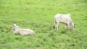 Bull που τρώει τη χλόη στο λιβάδι φιλμ μικρού μήκους