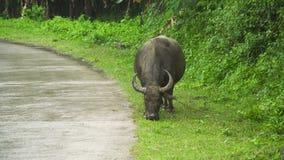 Bull που τρώει τη χλόη απόθεμα βίντεο