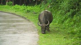 Bull που τρώει τη χλόη φιλμ μικρού μήκους
