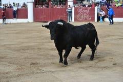 Bull στην Ισπανία Στοκ Εικόνες