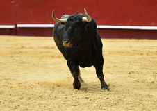 Bull στην Ισπανία Στοκ εικόνα με δικαίωμα ελεύθερης χρήσης