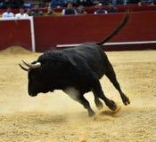 Bull στην Ισπανία Στοκ εικόνες με δικαίωμα ελεύθερης χρήσης