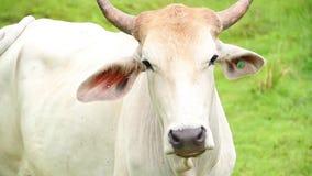 Bull στην κινηματογράφηση σε πρώτο πλάνο τομέων φιλμ μικρού μήκους