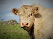 Bull в поле стоковое изображение