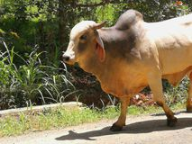 Bull в сельском районе в Коста-Рика Стоковое Фото