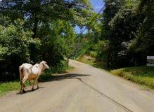 Bull в сельском районе в Коста-Рика Стоковое Изображение RF