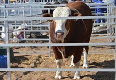 Bull в стали kraal Стоковое Фото
