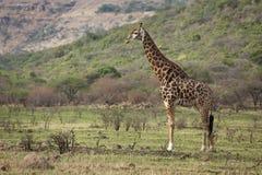 Bull. жирафа. Стоковые Фото