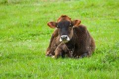 Bull-икра на выгоне весны на дождливом дне Стоковое Изображение