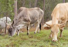 Bull и корова с рожками Стоковая Фотография RF