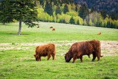 Bull и коровы в выгоне Стоковое фото RF