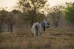 Bull и поле Стоковые Фото