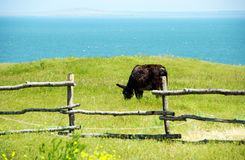 Bull пася Стоковое фото RF