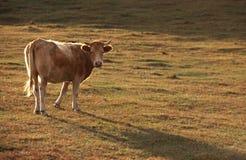 Bull под солнцем Стоковое Изображение RF