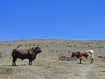 Bull против его подруги Стоковое Изображение